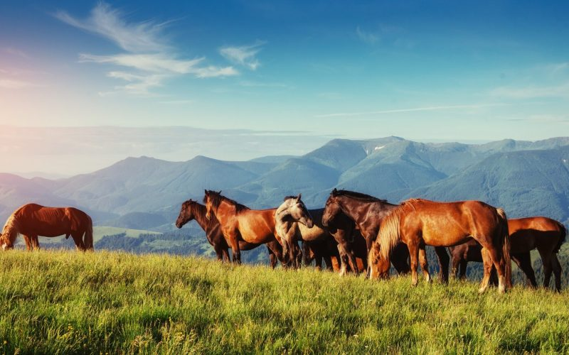 Horses, on grass at high-land pasture Carpathian Mountains in rays of sunset